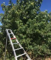 A mature elderberry shrub on a Sacramento Valley farm being harvested