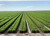 Carrot field under furrow irrigation system in the Imperial Valley