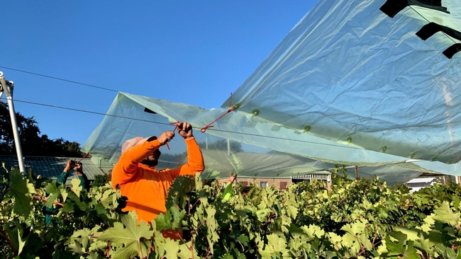 Worker installs shade film above wine grapes