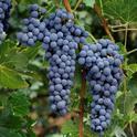 Cabernet sauvignon grapes. Photo by Jack Kelly Clark