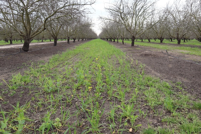 A pollinator mix of cover crops sprouting on an almond orchard floor