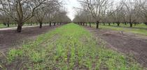 A pollinator mix of cover crops sprouts on an almond orchard floor at J&R Ranches in Manteca. Photos by Kamyar Aram for Food Blog Blog