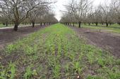 A pollinator mix of cover crops sprouts on an almond orchard floor