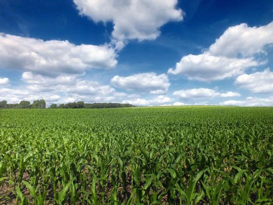 corn crop2
