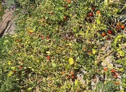 Red cherry tomato vine growing on the ground.