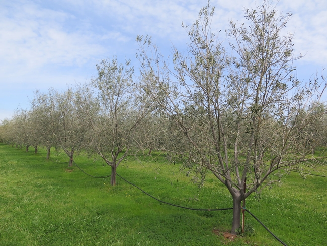 An olive orchard with little canopy