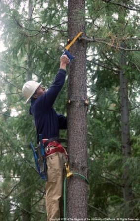 Rob York hand pruning