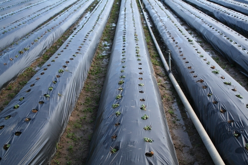 Campo de fresa gravemente afectado por sal 6 de enero.  Unas plantas parecen muertas.