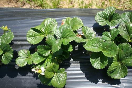 Plantas de fresa el 5 de abril.  Toque de mancha de hoja en las hojas en la parte superior de la foto, pero no hay nada de preocuparse.