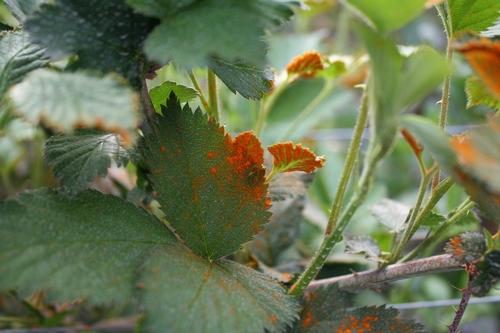 Buena foto de roya anaranjada de zarzamora y un depósito de esporos por una hoja.
