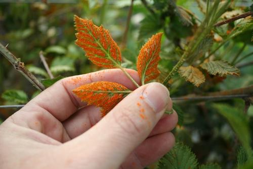 Parte inferior de una hoja de zarzamora infectada de roya anaranjada.