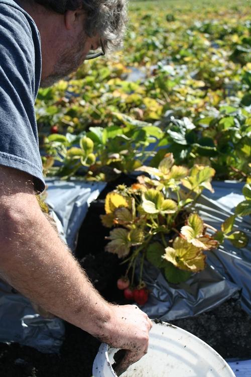 Frank Shields de Soil Control Lab sacando una muestra de suelo de una camellón de plantas de fresa amarillas.