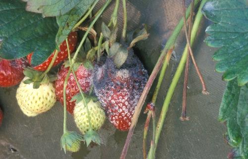 Foto por Steven Koike, UCCE.  Podrición de Rhizopus en fresa.  Nótense los esporangios maduros y negros.