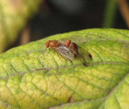 Hembra y macho (con manchas en los alas) de Drosophila biarmipes.