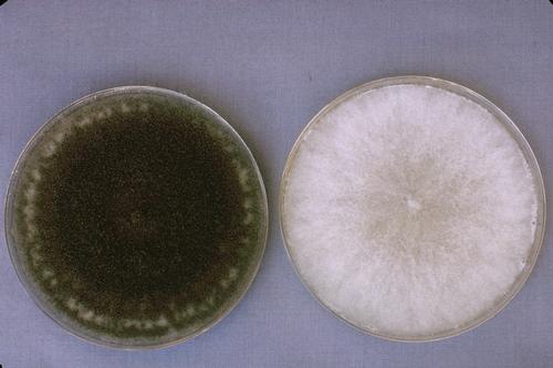 Foto 1: Cultura en agar de Botrytis criado en luz (izquierda) y criado completamente sin luz (derecha).  Foto por Steven Koike, UCCE.
