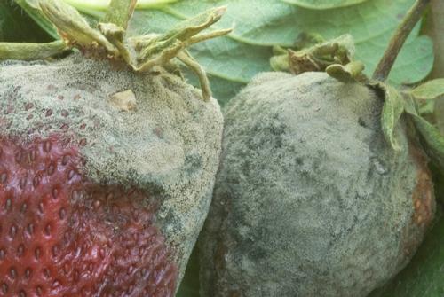 Foto 4. Esporulación extensa de molde gris en fruta de fresa.  Foto por Steven Koike, UCCE.