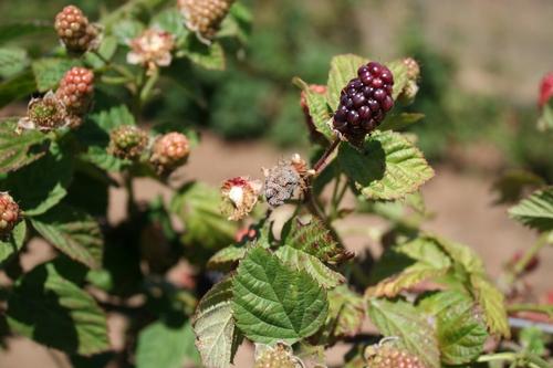 Foto 5. Infección de Botrytis en fruta de zarzamora.  Foto por Mark Bolda, UCCE.