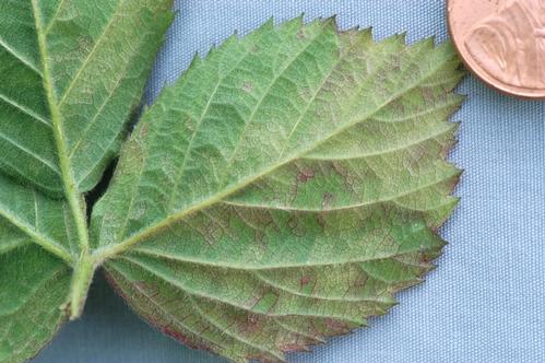 Lado inferior de una hoja infestada de honguillo.  El color amarilliento es asociado con el hongo.