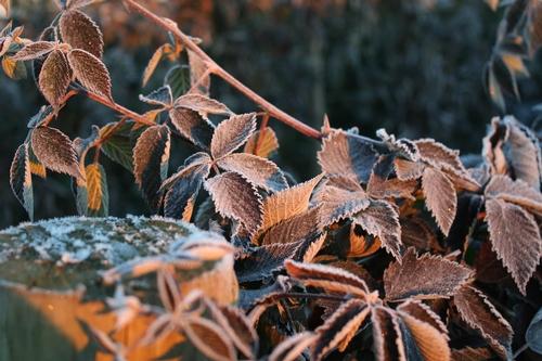 Hojas de zarzamora cubiertas en hielo – ¿beneficial a la planta?