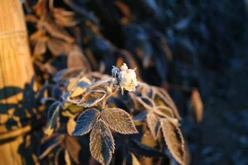 Infelizmente, esta flor de zarzamora cubierta de hielo no dará fruta.