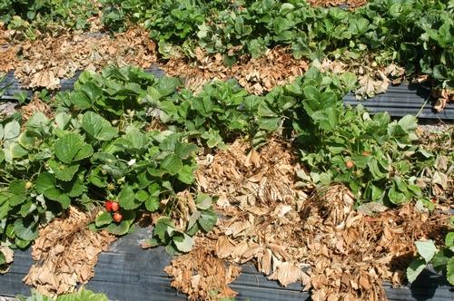 Foto 1.  Podredumbre carbonosa resulta en el decaer y muerte de plantas de fresa. Foto por Steven Koike, UCCE