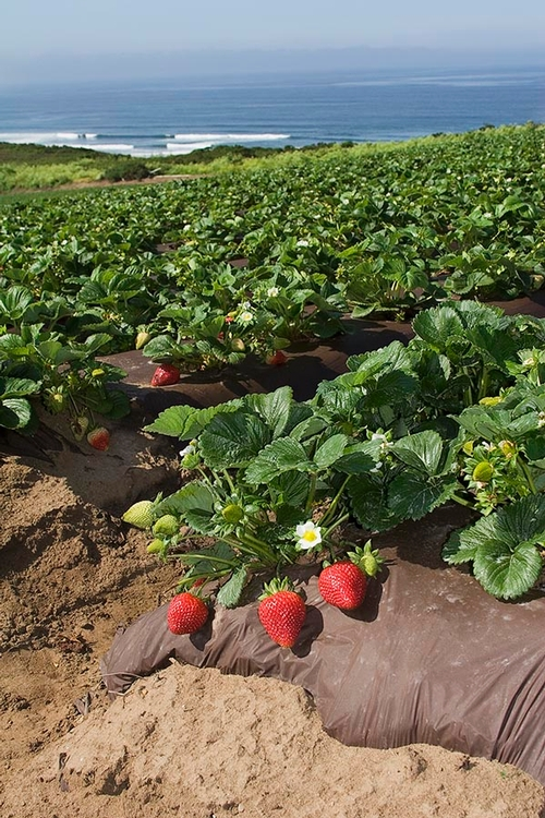 Anuncio de una serie de cursillos para la campaña de fresa 2013-2014: Los principios de producción exitosa de fresa en la costa central de California.