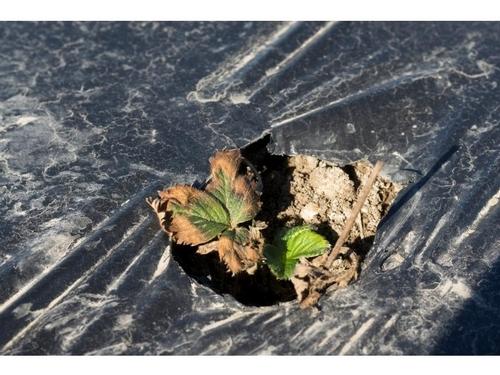 Una foto del efecto de sal en el campo.  Principalmente se debe darse cuenta de las margines de hojas quemadas y un aspecto de debilidad del trasplante.  Foto por Steven Koike, UCCE.