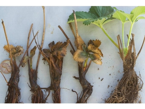 Una foto de la progresión del daño de sal.  Una planta sana a la derecha, plantas fuertemente afectadas a la izquierda.  Foto por Steven Koike, UCCE.