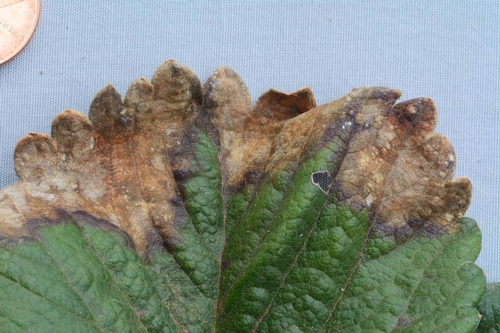 Foto 1. Mancha foliar de fresa se caracteriza por lesiones de una forma irregular de un color gris a marrón.  Foto por Steven Koike, UCCE.