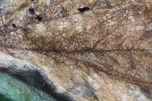 Foto 2. Cuerpos fructíferos usualmente son presentes en las lesiones de mancha foliar de fresa.  Foto por Steven Koike, UCCE.