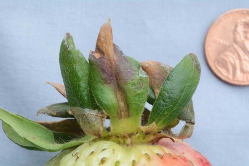 Foto 5. En unos casos, parece que Zythia está causando lesiones en el cáliz del tejido de la fruta. Foto por Steven Koike, UCCE.