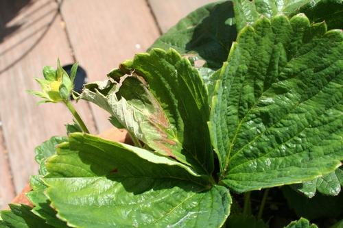 Daño del Sol y el calor en hojas de fresa de variedad 'Sequioa'.