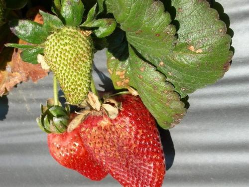 Daño del Sol y el calor en fruta. Notarse de la similitud de los síntomas de hoja en esta planta con los dos ejemplos arriba.