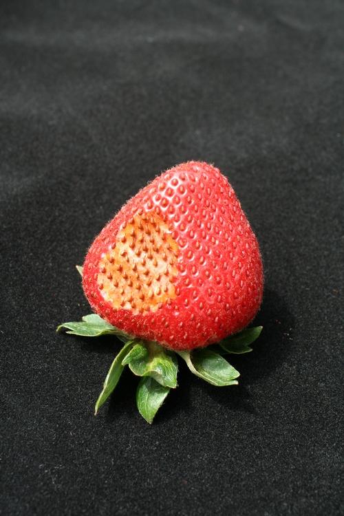 Síntoma típico de insolación de fresa – mancha marrón y necrótica en la parte superior de la fruta.