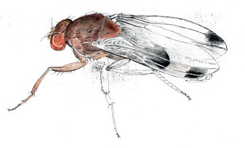 Macho de drosófila de alas manchadas.