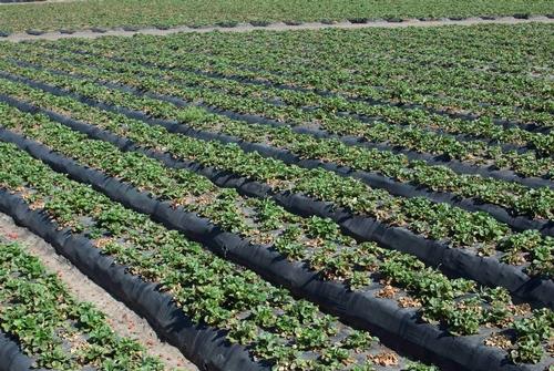 Progresión – Campo de fresa contaminado de Macrophomina, 21 de junio. Foto por Steven Koike, UCCE.