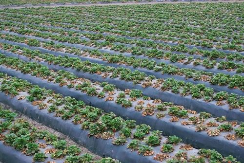 Progresión – Campo de fresa contaminado de Macrophomina, 5 de julio. Foto por Steven Koike, UCCE.