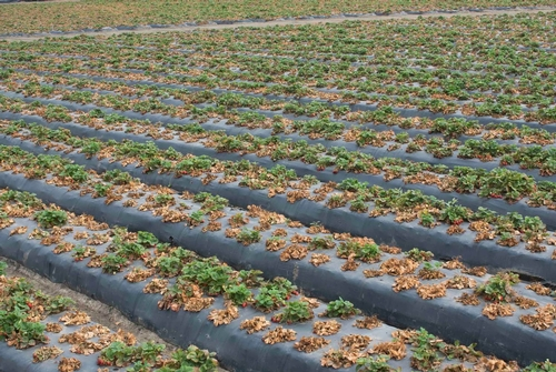 Progresión – Campo de fresa contaminado de Macrophomina, 26 de junio. Foto por Steven Koike, UCCE.