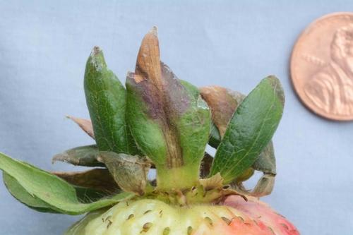 Foto 1: Zythia en cáliz de fruta de fresa. Foto por Steven Koike, UCCE.