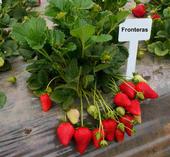 La variedad de fresa 'Fronteras'