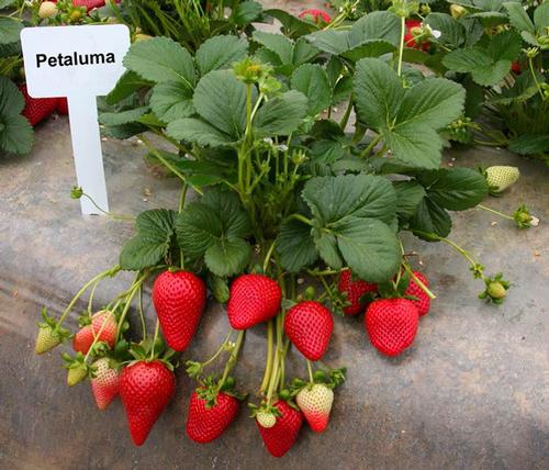 La variedad 'Petaluma'.  Foto por Doug Shaw.