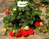 La variedad de fresa 'Grenada'.