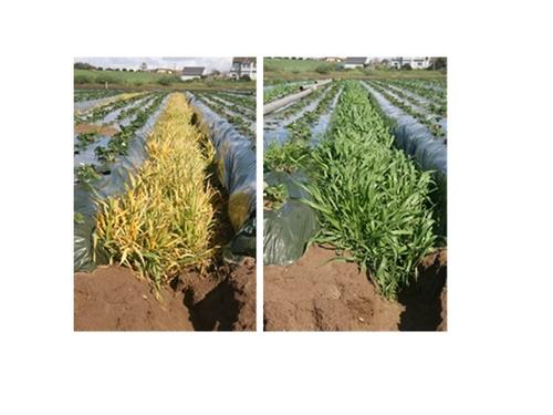 Foto 1: Izquierda: Cebada tratada con sethoxdim (Poast) 18 días después de tratamiento y a la derecha un cultivo de cobertura no tratada.  Foto por Richard Smith, UCCE.