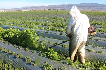"""Foto 2.  Usando una cortadora motorizada de malezas en un cultivo de mostaza variedad """"Ida Gold"""" en el campo experimental de USDA-ARS en el medio de febrero.  Se plantó este cultivo en el fin de noviembre. Foto por Richard Smith, UCCE."""