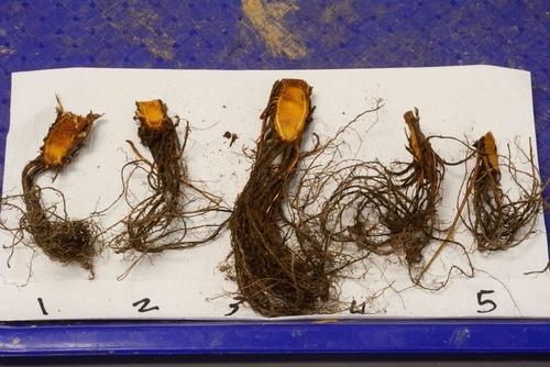 Foto 1: Muestras de fresa son examinados para tejidos sintomáticos que indican una posible enfermedad. Foto por Steven Koike, UCCE.