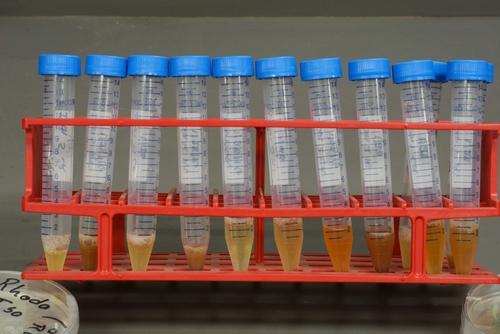 Foto 3: Las mezclas resultantes son coladas y puestas en tubos.  Foto por Steven Koike, UCCE.