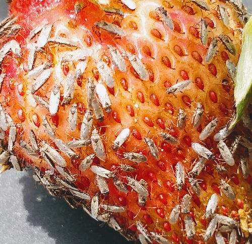 Chinche muy numerosa invadiendo una fruta de fresa en el campo.  Foto por Amber Schat.