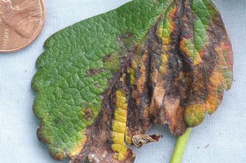 En casos graves, manchas pueden sumergirse y causar una mayor parte de la hoja ser necrótica.