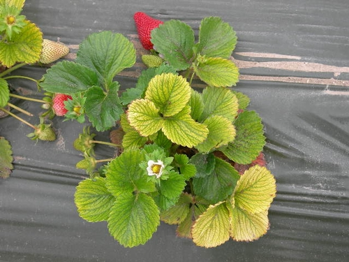 Síntomas de una planta amarilla en Castroville