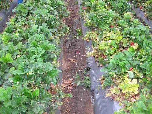 Variedad de fresa 'San Andreas'.  Zurco a la izquierda tuvo problemas con el goteo y recibió consecuentemete menos agua.